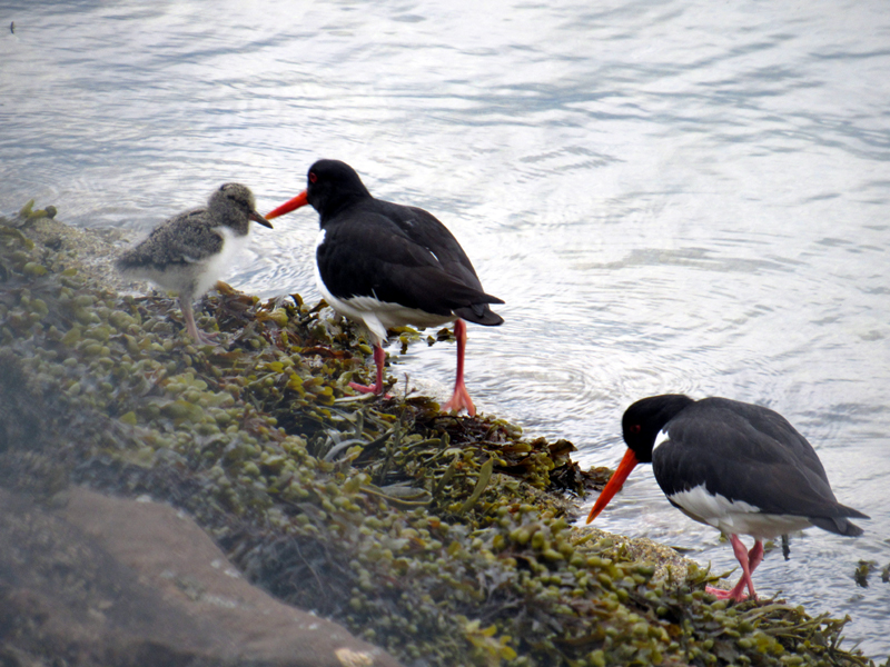 Oyster catchers with young
