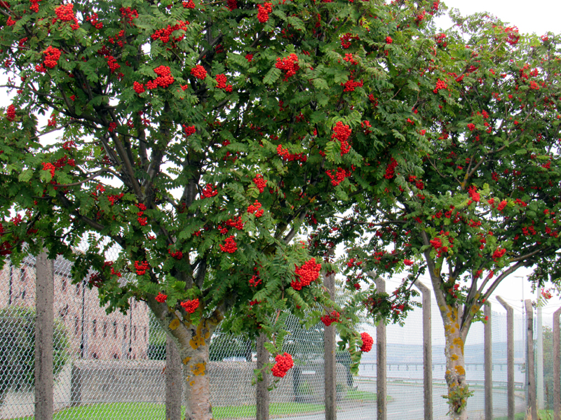 Rowan trees (Mountain Ash)